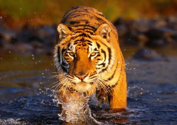 Global Tiger Forum Pledges Increased Population by 2022 | Anywhere ...